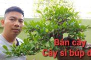 (Đã Bán) cây Bonsai si búp đỏ lá tai chuột nghệ thuật sđt 0974299099