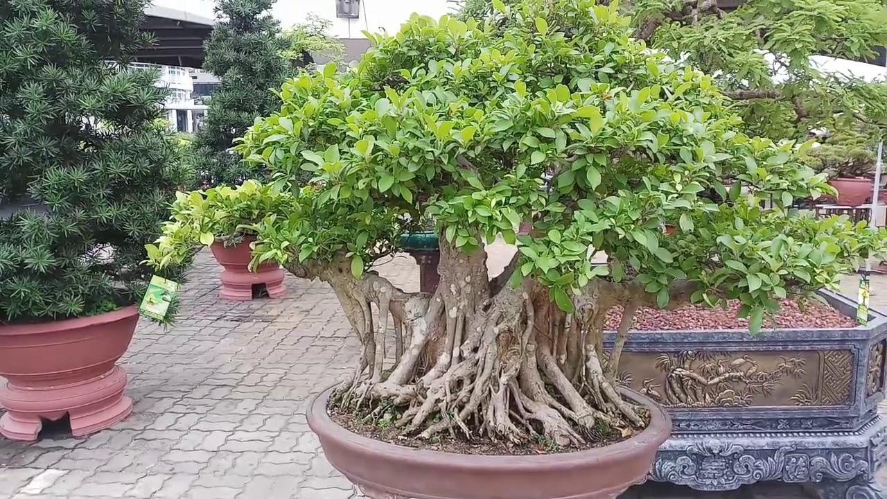 Đẹp quá những cây bonsai mini nghệ thuật dưới chân cầu sông hàn đà nẵng