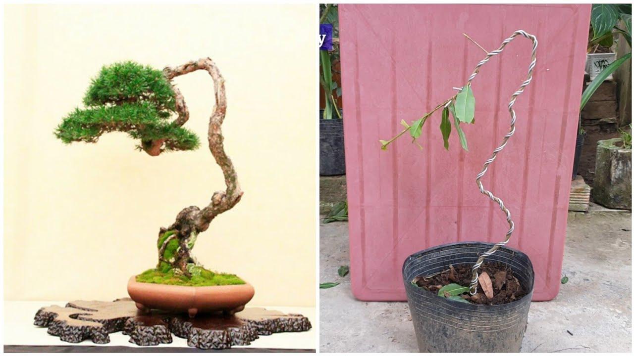 Định hình cây mai vàng bonsai mini dáng văn nhân từ đầu đơn giản   bonsai miền tây