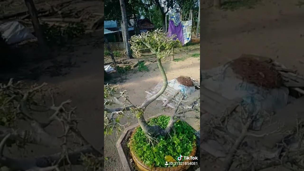Độc lạ Đông Giang # cây cảnh 20 năm có người xin mùa 27 triệu mà chủ chưa bán.