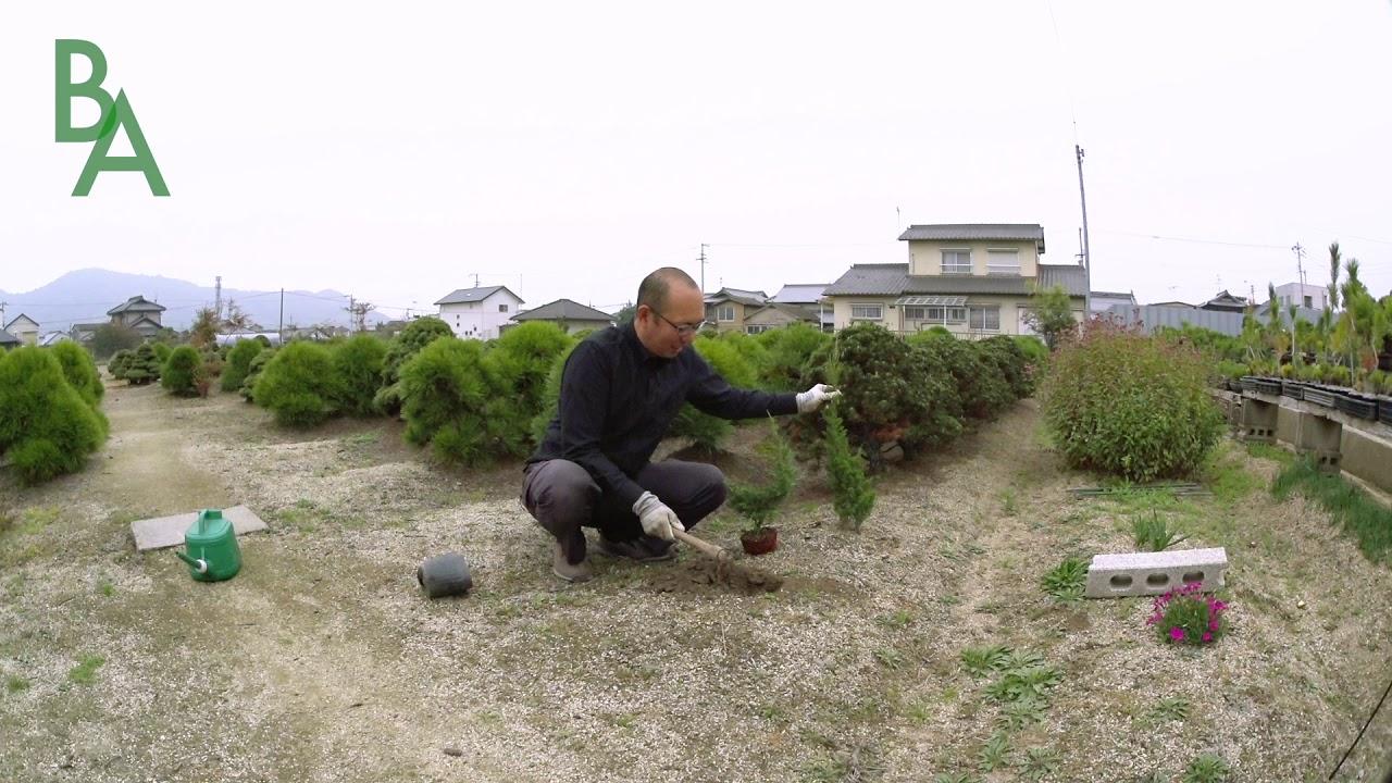 ポット苗を畑に植え替える時の注意点を説明します【盆栽・初心者講座】