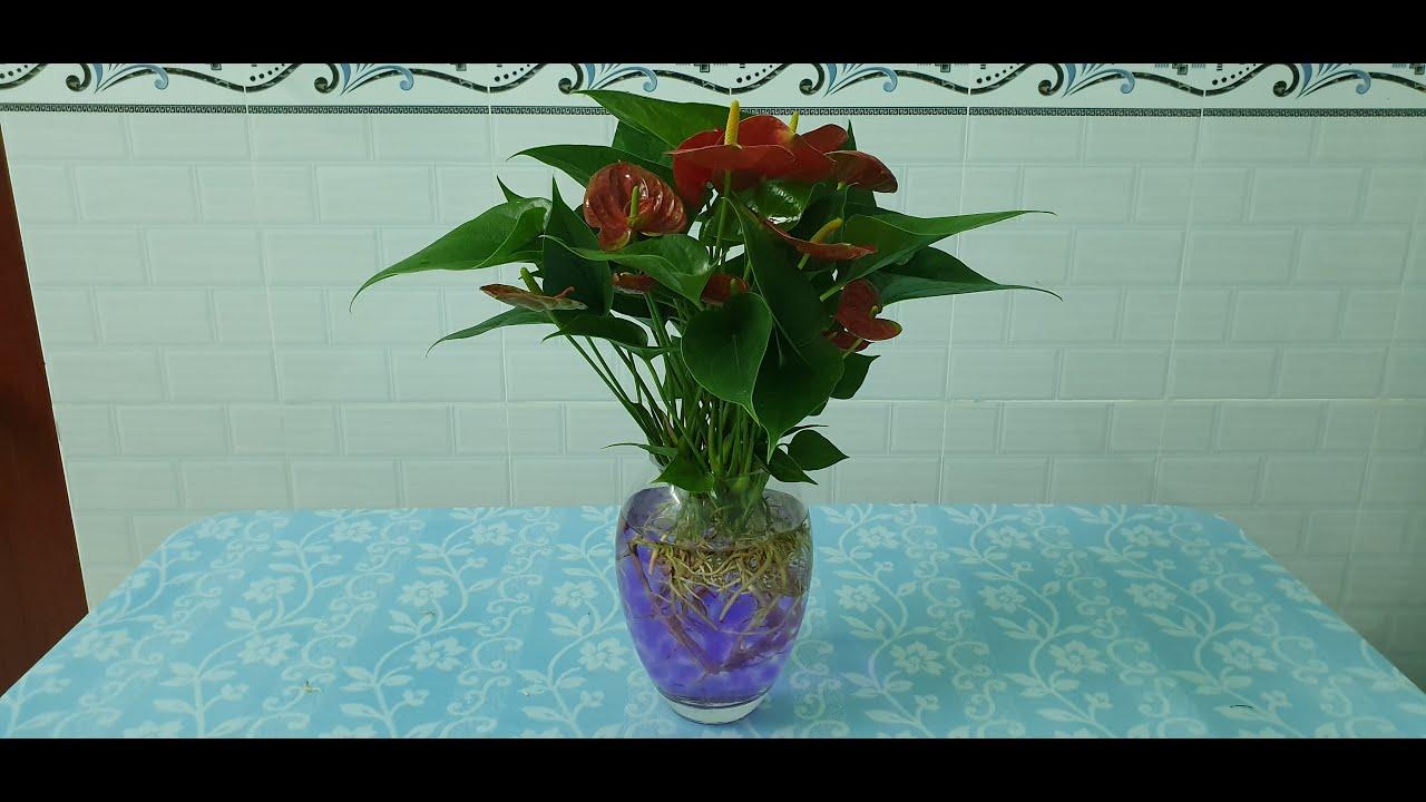 #002 Cách trồng và chăm sóc cây Hồng Môn trong nước - Anthurium in water
