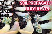 #106 SOIL PROPAGATION SUCCULENTS | Nhân giống SEN ĐÁ bằng lá từ ĐẤT | Cuộc sống Mỹ