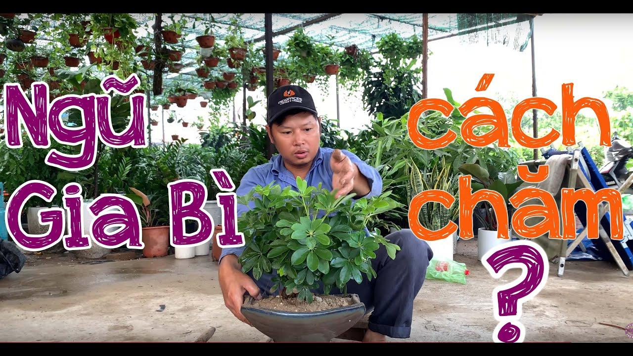 116. Cây ngũ gia bì Bonsai - Cây cảnh Chợ Hàng