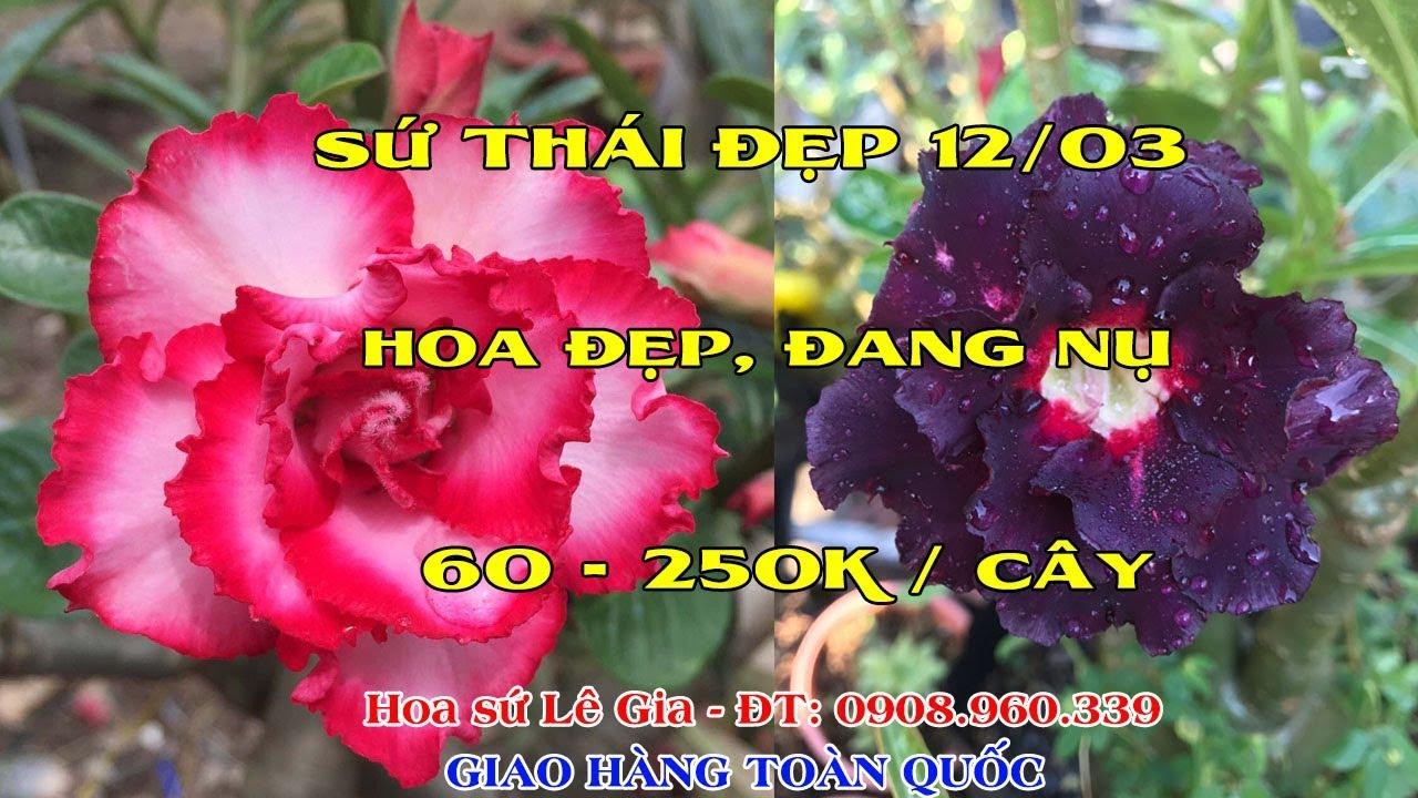 12/03/20 - Nay con có 37 cây sứ thái đẹp. Giá: 60-250k/cây. Liên hệ: 0908.960.339