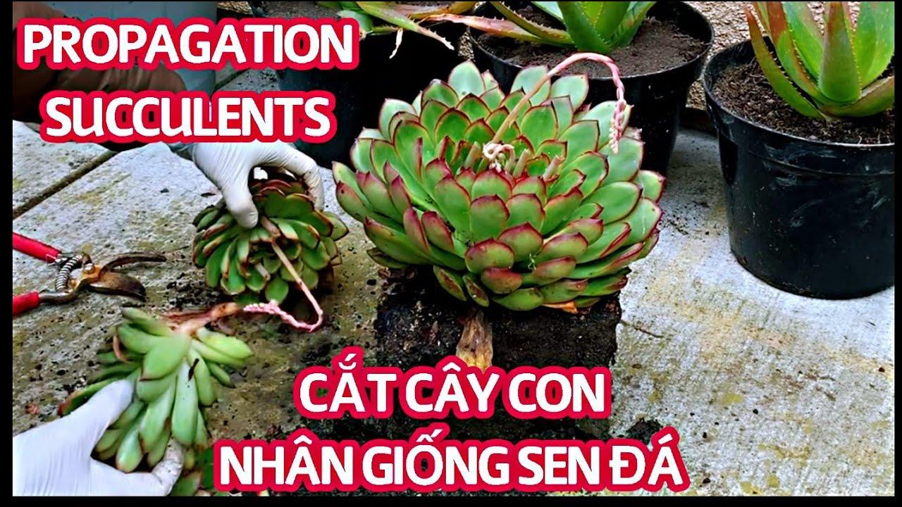 #127 How to propagate succulents LIKE A BOSS | Nhân giống sen đá bằng cách cắt câycon | Cuộc sống Mỹ
