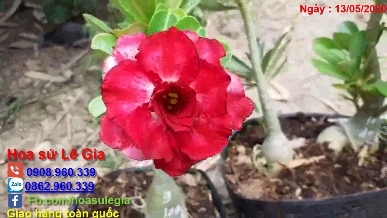 13/05/20 [Sứ hạt ] - Nay con bán 8 cây sứ hạt lai tạo đẹp. Giá: 50-150k/cây. Liên hệ: 0908.960.339