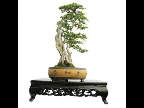 Nghệ thuật bonsai