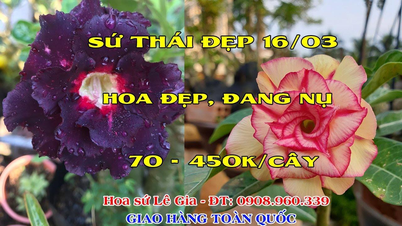 16/03/20- Nay con có 33 cây sứ thái đẹp. Giá: 70-450k/cây. Liên hệ: 0908.960.339
