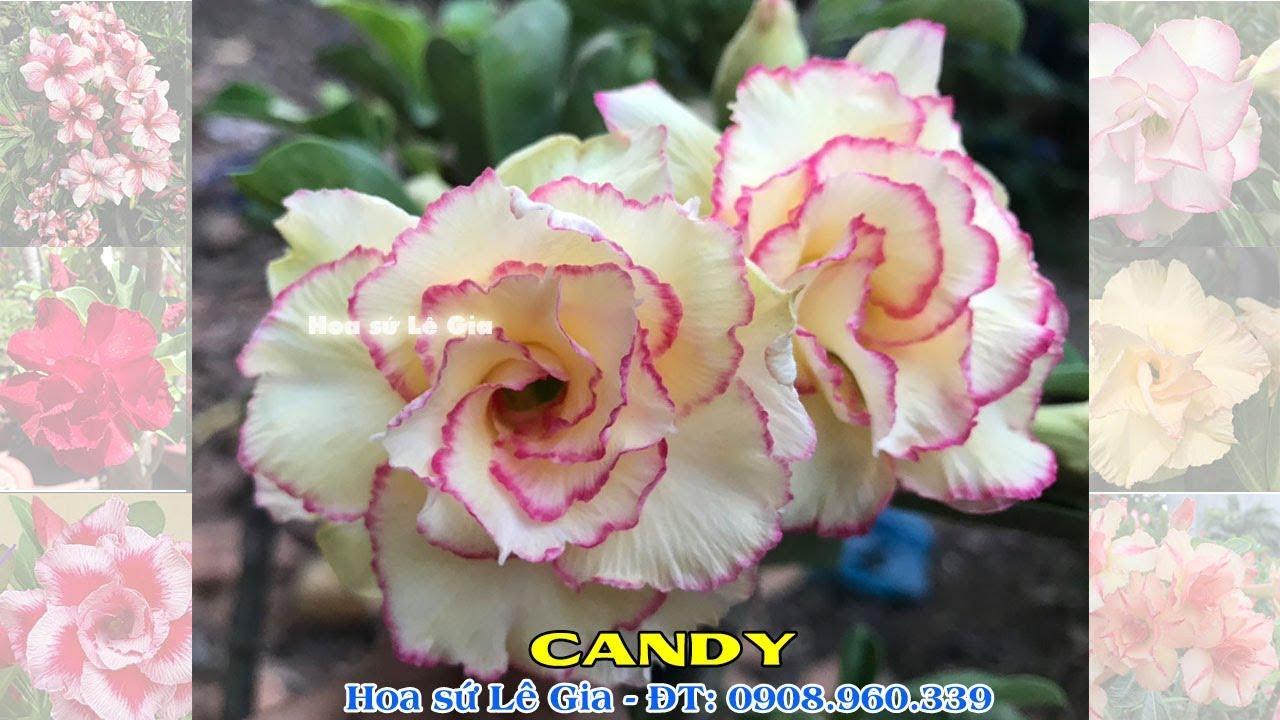 16/04/20 - Nay con có 35 cây sứ thái đẹp. Giá: 140-300k/cây. Liên hệ: 0908.960.339