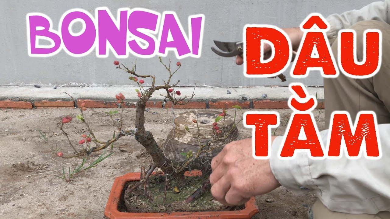 [286]. Lên chậu bonsai cây Dâu Tằm đã ra nhiều quả - CÂY CẢNH CHỢ HÀNG
