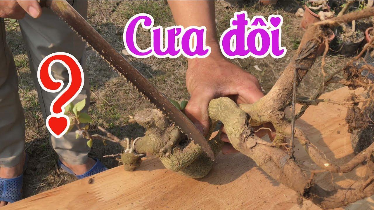 [303]. Cưa 1 Cây Hoa Giấy Mỹ Làm 2 Cây Mini Bonsai - CÂY CẢNH CHỢ HÀNG   Cây Cảnh Hải Phòng