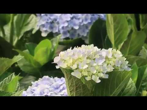 #4 Hoa Cẩm tú cầu - Cây phong thủy 68