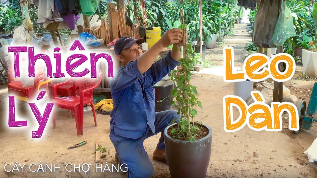 53. Cây hoa Thiên lý leo giàn trồng chậu (Phần 1) - Cây cảnh Chợ Hàng