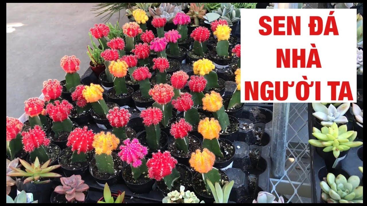#71 SEN ĐÁ ĐẸP | XƯƠNG RỒNG | CHẬU THẠCH BÍCH KHỔNG LỒ | succulent & cactus | Huge Jade Plant