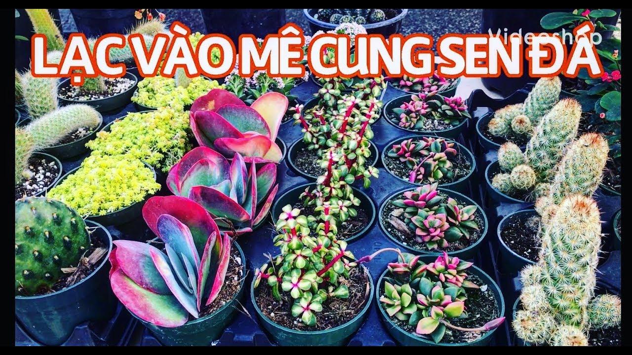 #77 LẠC VÀO MÊ CUNG SEN ĐÁ CỦA MITZI'S   Succulents and Cacti   Cuộc sống Mỹ
