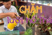 84. Cây Lưỡi hổ Thái để bàn (Phần 1) - Hướng dẫn trồng và chăm sóc - Cây cảnh Chợ Hàng