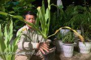 95. Cây Trinh nữ hoàng cung, Láng hoa (Phần 1) - Cây cảnh Chợ Hàng