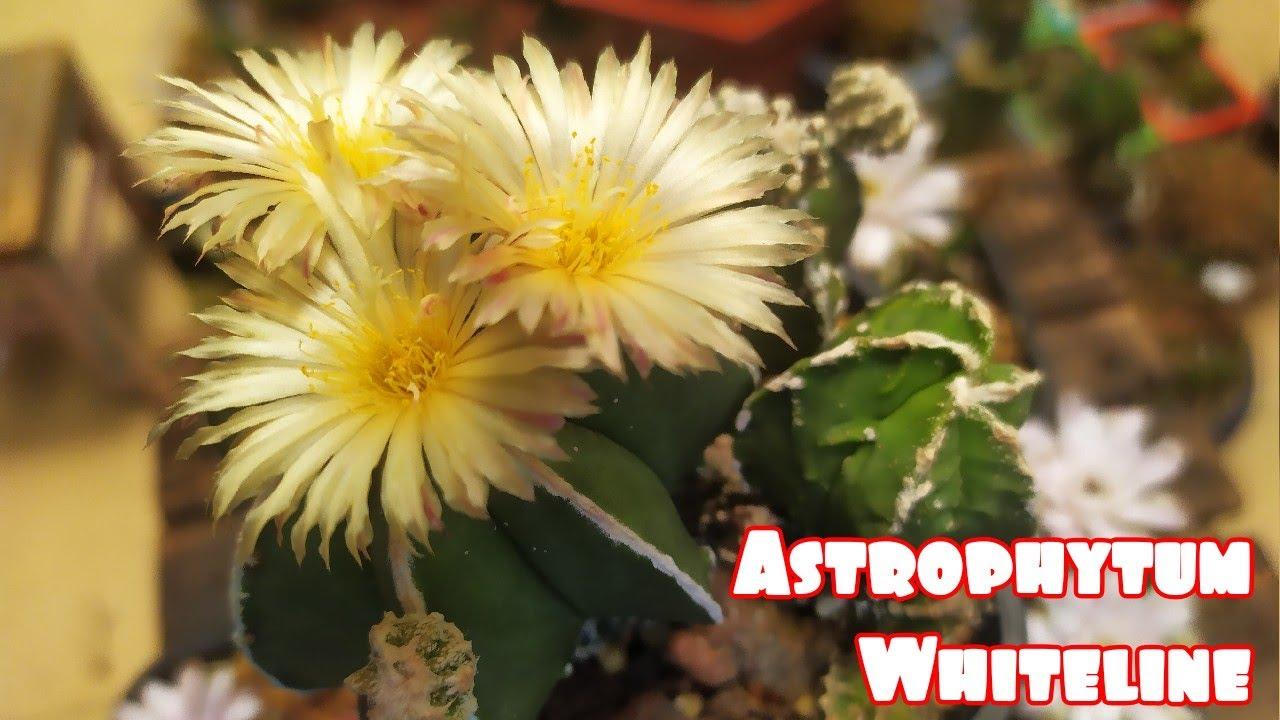 ASTROPHYTUM Whiteline Cactus Flower