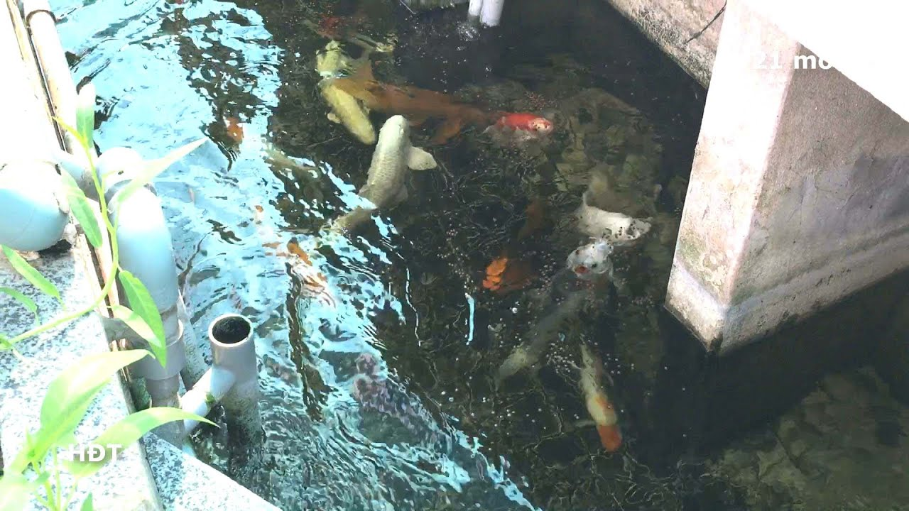Aquarium (Koi 800 gallons)/ after 21 months? hồ cá (Koi 3000 lít)/ sau 21 tháng