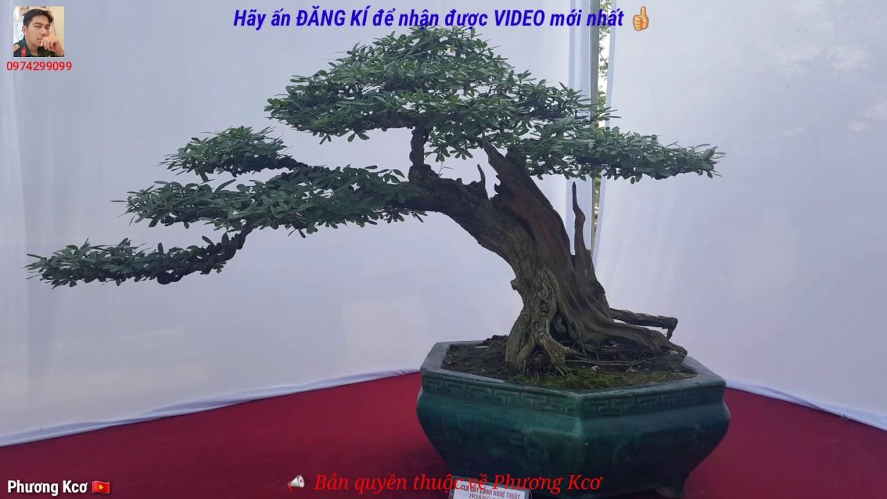 Art bonsai high art value. cây cảnh nghệ thuật giá trị nghệ thuật cao