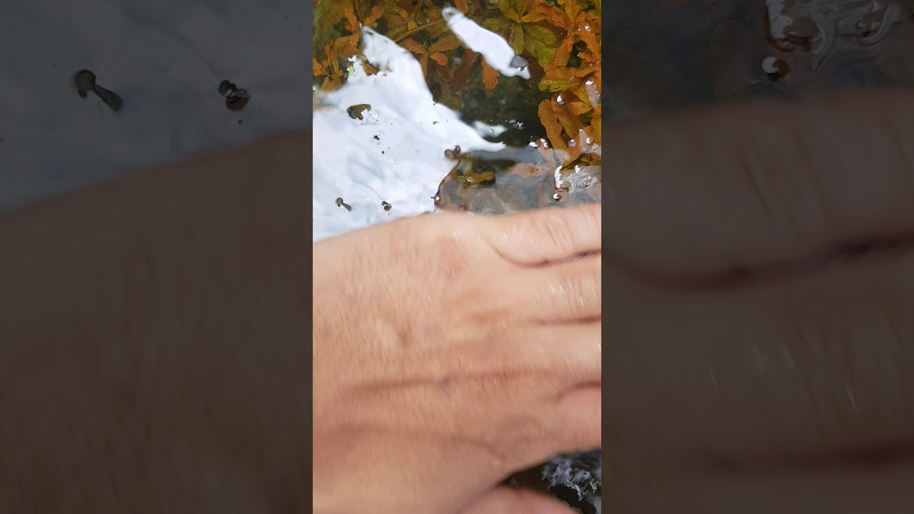 Bá văn hương cam