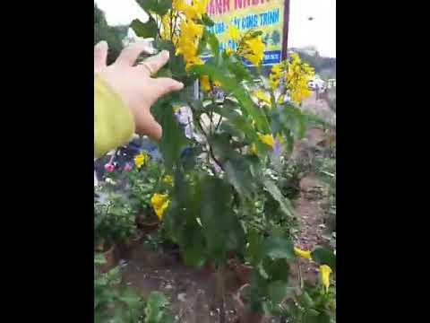 Bán Cây hoa chuông vàng ,hoa hồng cổ sapa giá rẻ.LH 0989732628