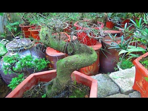 Báo giá bonsai tùng, phi lao, sung , cần thăng...