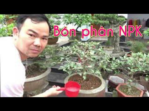 Bón phân NPK cho cây cảnh - Fertilize bonsai with NPK