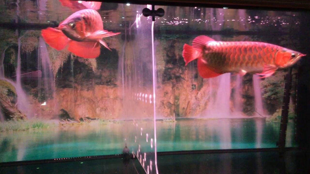 Bể Cá Cảnh - Bán cá - Rồng - Hổ - Sam - Cá Koi Mr: Phong SĐT 0936878636