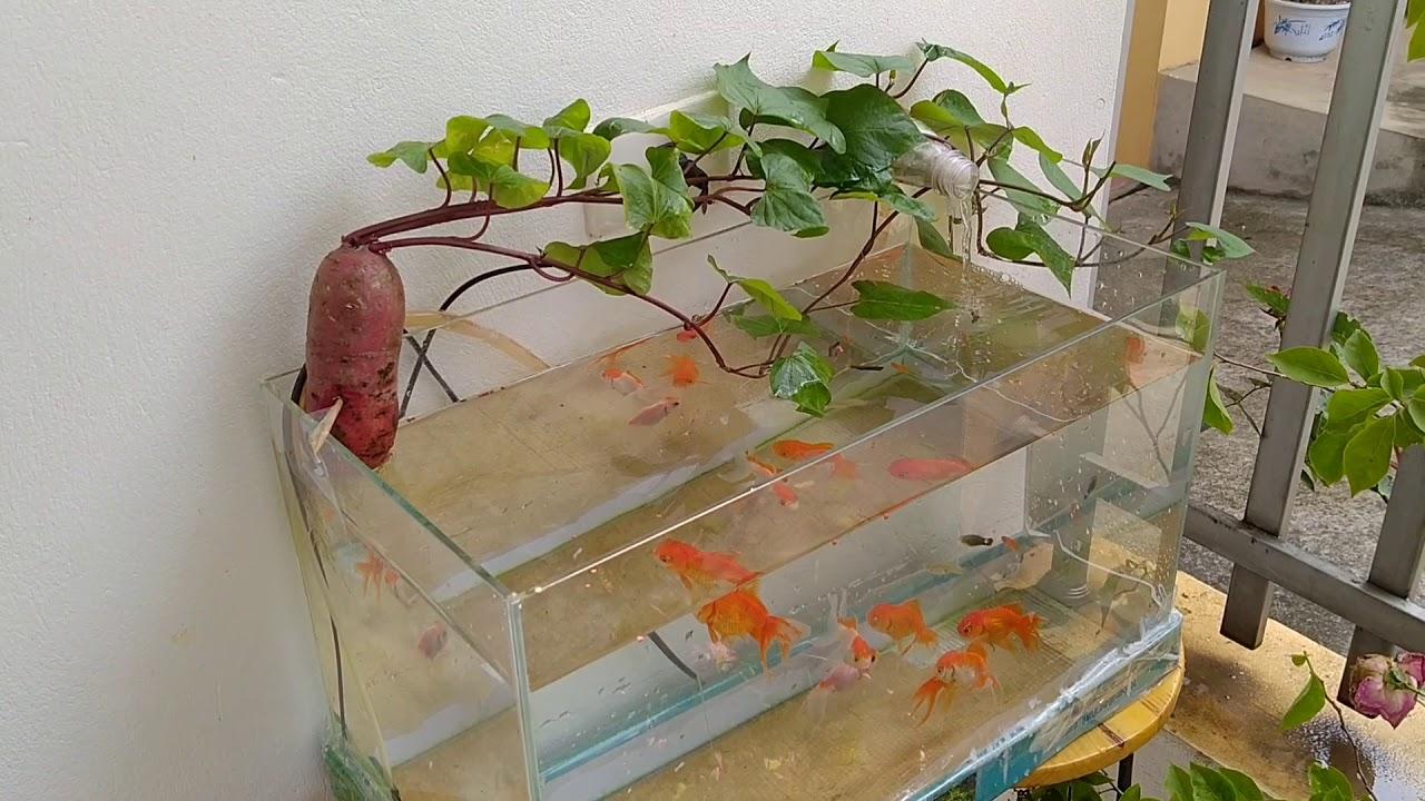 Bể cá cảnh đẹp mini. Bể cá thủy sinh khoai lang tím