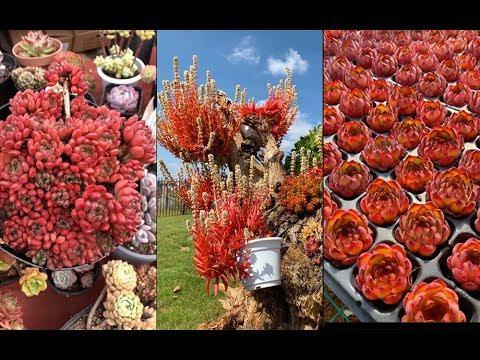 Best red succulents  多肉植物   Sen đá màu đỏ cực đẹp  www.vuonsenda.vn