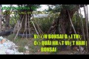 Bonsai đại thụ   cây me 200 năm tuổi