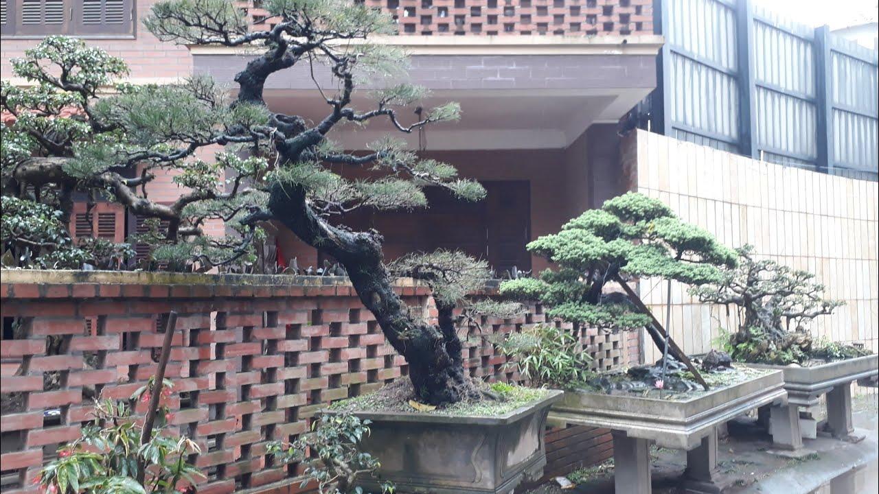 Bonsai đẹp tại khu đất vàng Hà Nội biệt thự Tây Hồ
