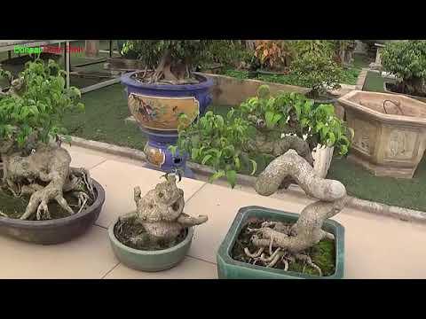 Bonsai Doãn Bình - SỐ 501 : Đầu Năm Thăm Nghệ Thuật Bonsai Đẹp Qúa Mời Anh Em