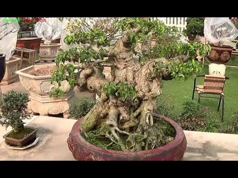 Bonsai Doãn Bình - SỐ 505 : Bonsai Cỡ Nhỏ Một Cách Chơi Thời Thượng Nhà Vườn Anh Được Gia Lâm HÀ NỘI