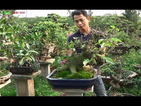 Bonsai Doãn Bình - SỐ 519 : Cần Bán Sung Bonsai Cây Khá Chất Lượng Vừa Gìa Nhiều Qủa Qúy vị Nào Kết