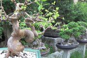 Bonsai Doãn Bình - SỐ 609 : Mấy Tác Phẩm Này Có Tầm Trong giới Chơi Bonsai Không Qúy Vị