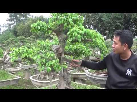 Bonsai Doãn Bình - SỐ 651 : Đôi Điều Chia Sẻ AE Một Kỹ Thuật Nhìn Cây Tạo Tác ,Kết Hợp Báo Gía
