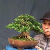 Bonsai nghệ thuật cao của 2 tràng trai trẻ. High artistic bonsai of 2 young boys.