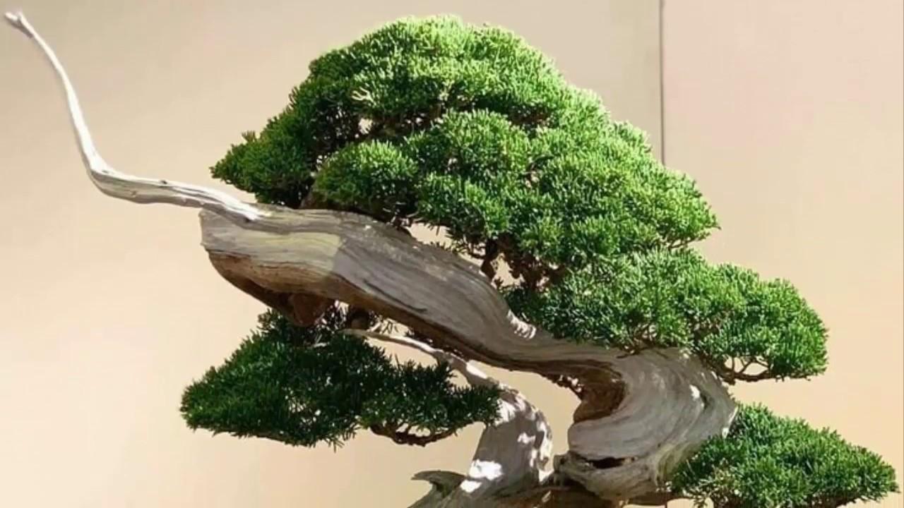 Bonsai nhửng tác phẩm Tanuki (ghép lũa) tuyệt đẹp Bonsai handmade sadec