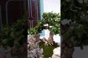 Bonsai sam núi trái vip , Tiểu cảnh bonsai đẹp, nghệ thuật bonsai