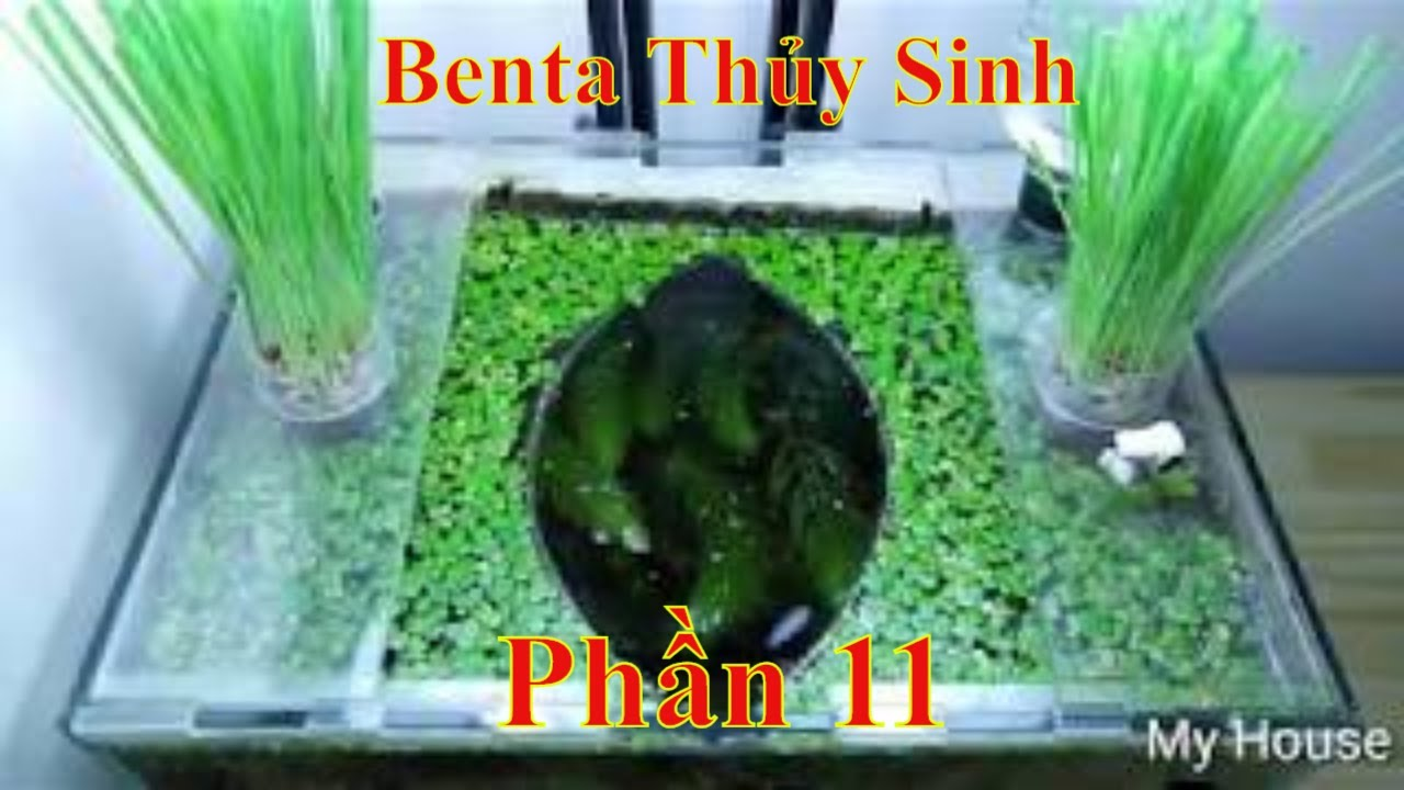 Cá Betta Thủy Sinh Không lọc, Không CO2, phần11 Betta Fish Sweet Potato No Filter, No CO2,