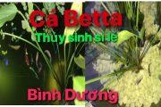 Cá Betta Thủy Sinh Sỉ Lẻ Bình Dương | Betta fish kept in an aquarium
