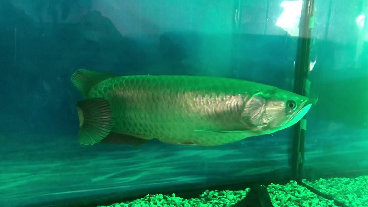 Cá rồng kim long với đèn xanh lá cây