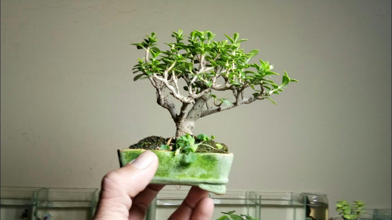 Cách ép cây vào chậu mini an toàn hiệu quả nhất. Ép lá bồ đề nhỏ lại
