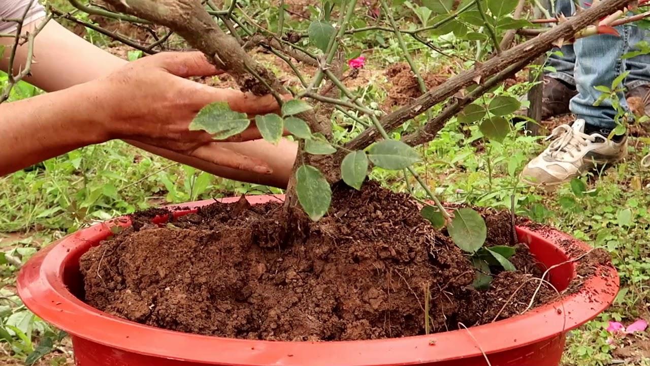 Cách đánh trồng cây hồng cổ sa pa   Cây cảnh  VDV Troll