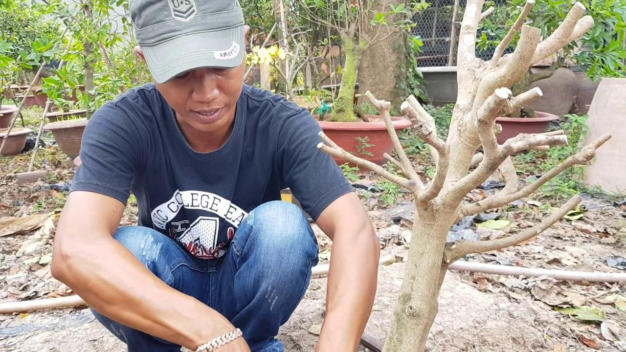 Cách cắt rể cây mai nhỏ từ bầu đất vào chậu đơn giản sống tốt 100%