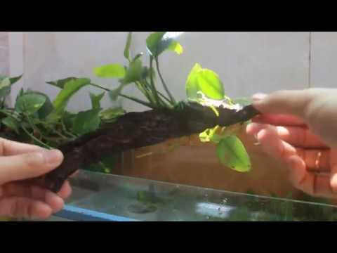Cách ghép cây RÁY thủy sinh vào lũa_ Vlogs học thủy sinh 3