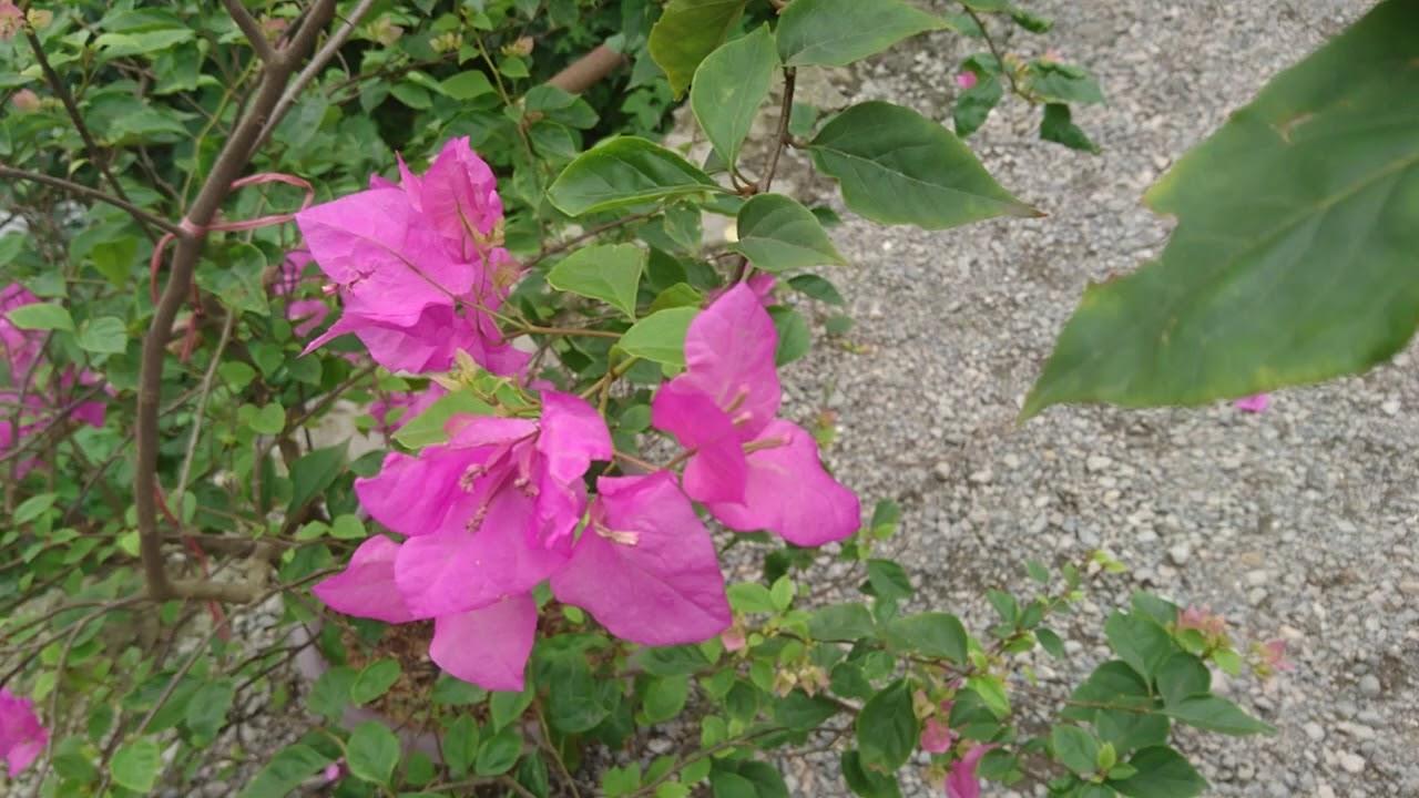 Cách làm cho hoa giấy ra hoa nhiều, hoa nở quanh năm.